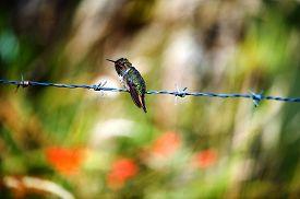 foto of hummingbirds  - The hummingbird on prickly a prowolf - JPG
