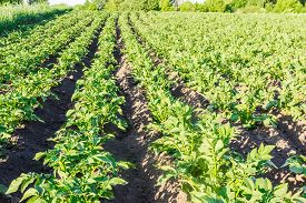stock photo of potato-field  - Field with rows of planted young potatoes - JPG