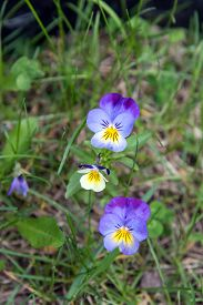 stock photo of viola  - Pansy flowers (Viola tricolor) in Ontario forest