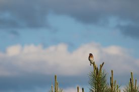 stock photo of bluebird  - This is a photo of a male Eastern Bluebird perched atop a pine tree - JPG