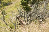 Brown Goat On Rigi Mountain
