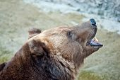 Brown Bear Roars