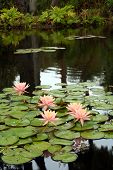 Large Pink Water Lilies