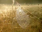 Spider web on a meadow at dawn