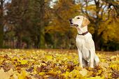 Labrador Retriever With Autumn Leaves