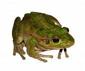 Animal - Frog