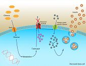 Insulin secretion