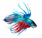 Betta fish, Dragon fish colorful beautiful fish isolated on a white background. Aquarium. poster