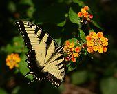 Butterflies0005