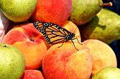 Peachs Pears Bfly21