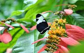Blue And White Longwing Butterfly