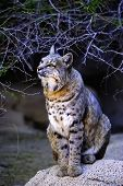 picture of bobcat  - A portrait of a bobcat sitting on the rocks - JPG