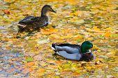 Mallards Or Wild Ducks In Fall