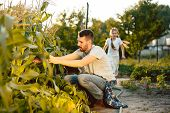 The Happy Young Family During Picking Corns In A Garden Outdoors. Love, Family, Lifestyle, Harvest C poster