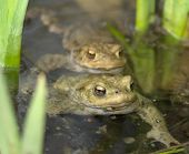 Common Toads In A Pond