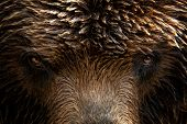 Kamchatka Brown Bear (ursus Arctos Beringianus), Close-up Detail Portrait. Brown Fur Coat, Danger An poster