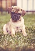 cute baby pug chihuahua mix called a chug playing on a green lawn toned with a retro vintage instagr poster