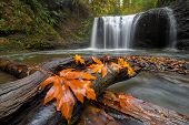 Maple Tree Leaves On Wood Log At Hidden Falls In Clackamas Oregon During Fall Season poster