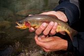 Golden Trout, Oncorhynchus mykiss aguabonita