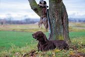 The German Shorthaired Pointe, A Beautiful Breed Dog Is Lying, On The Lawn, Posing For A Photo. Ther poster