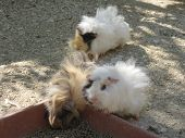 Peruvian Guinea Pigs Small Hairy Rodents Some With Very Long And Thick Hair poster