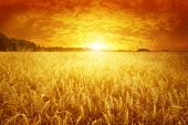 Golden sunset over wheat field.