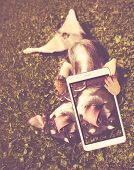 cute chihuahua playing in the grass licking his nose taking a selfie toned with a retro vintage inst poster
