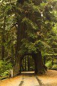 Redwood Tree Drive Through