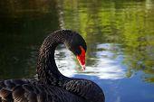 Black Swan Grooming Feathers By Water