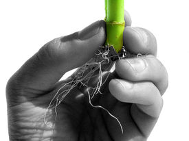 picture of naturist  - Bamboo Root Holded by a Scientist Hand - JPG