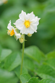 stock photo of potato-field  - A white flower of a potato plant - JPG