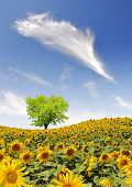 spring landscape with sunflower field