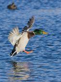 Drake Mallard landing in a pond