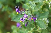 Evening Nightshade flower