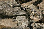 Young Crocs