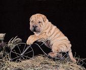Sharpei Puppy On A Bike