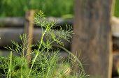Parsley Plot Farm Seedling Vegetable Outdoor