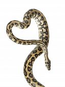 Python, Morelia spilota variegata,close up against white background