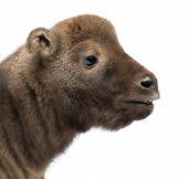 Mishmi Takin, Budorcas taxicolor taxicol, also called Cattle Chamois or Gnu Goat, 10 days old, again