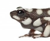 Mara?�?�±??n Poison Frog or Rana Venenosa, Ranitomeya mysteriosus, close up against white background
