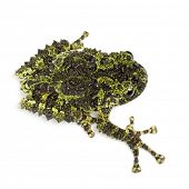 Mossy Frog, Theloderma corticale, also known as a Vietnamese Mossy Frog, or Tonkin Bug-eyed Frog, against white background