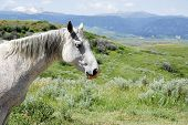 stock photo of dapple-grey  - A dappled grey horse dozes in the summer sun on the open range of western USA - JPG