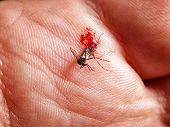 Bloody Mosquito