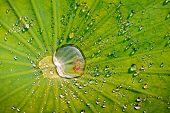 Water drops on a green leaf of lotus