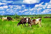 Farm cattle in the meadow
