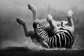 Zebra rolling in the dust (Artistic processing)