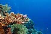 coral reef with hard coral and exotic fishes at the bottom of tropical sea
