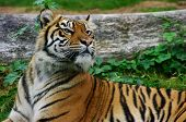 Wary Tiger