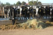 picture of dairy cattle  - These cattle are feeding at a trough in a large Central California dairy farm - JPG