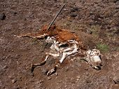 stock photo of cow skeleton  - A cow decomposes in a field of dirt - JPG